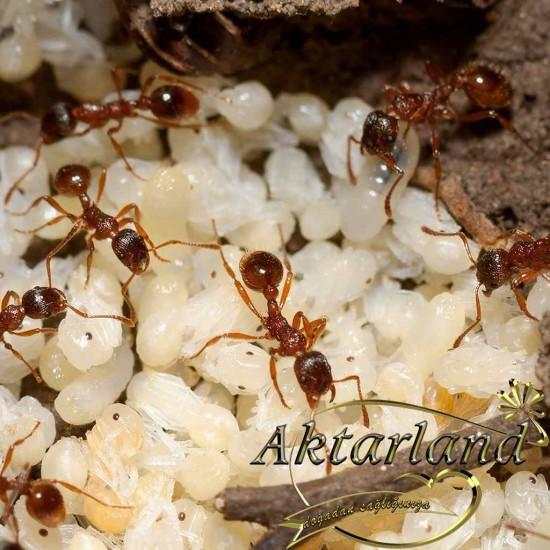 Karınca Yumurtası Yağı - (Orjinal)