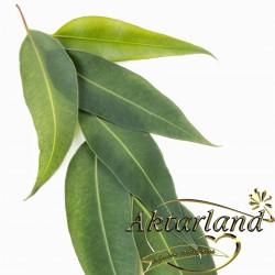 Okaliptus Yaprağı - 50 gr