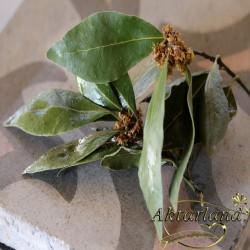 Süpürge Tohumu - 200 gr